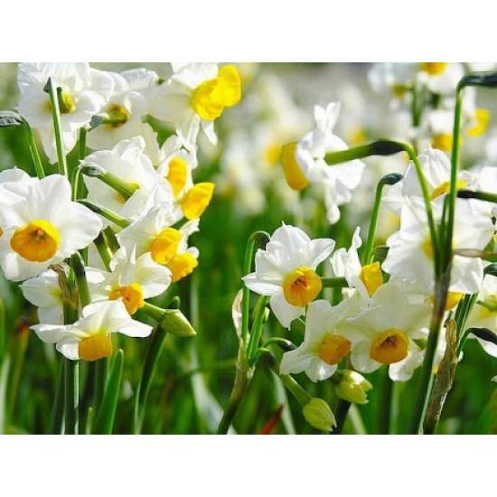 Kiraz Çiçeği Kokusu Esansı