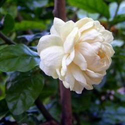 Full Çiçeği Kokusu