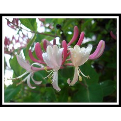 Hanımeli Çiçeği Kokusu