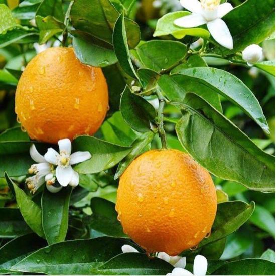 Portakal Çiçeği Kokusu Esansı
